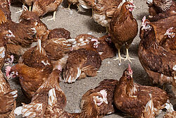 Laying hens on litter