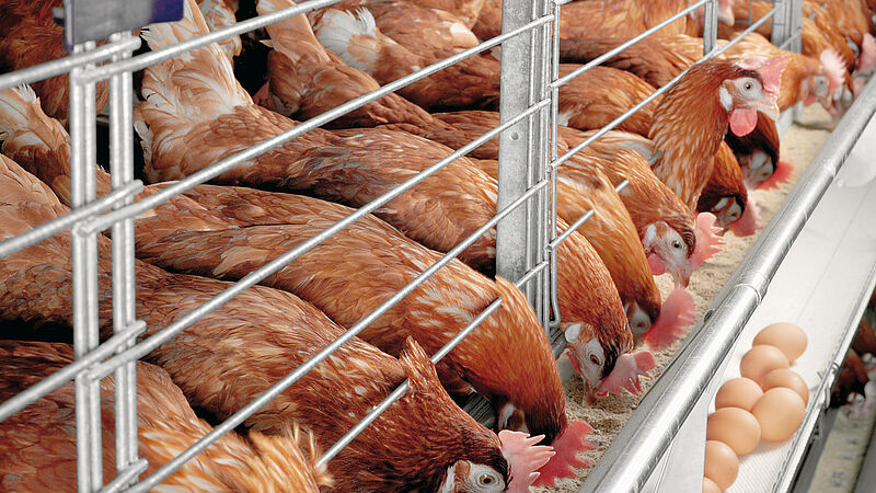 Poultry production with Colony-EU