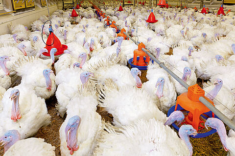 Turkey production