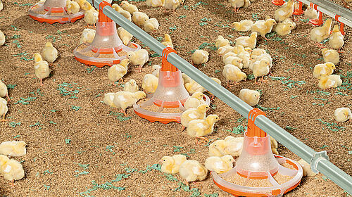 Chicks eating from the new pan for broiler production