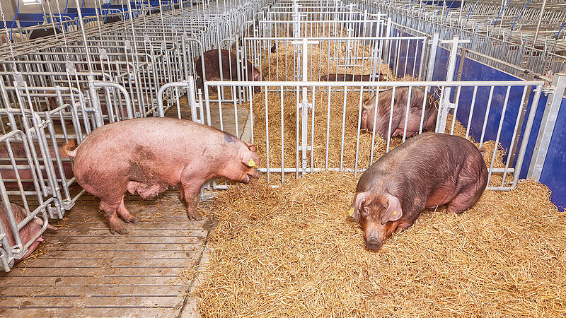 Modern sow management