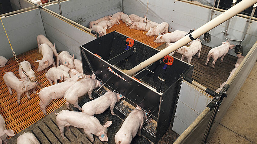 Piglets eating from a trough