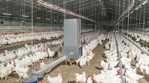 Inside of a poultry house with feeding system and birds