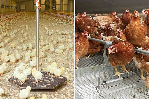 ▷Optimal broiler production | Poultry growing | Big Dutchman