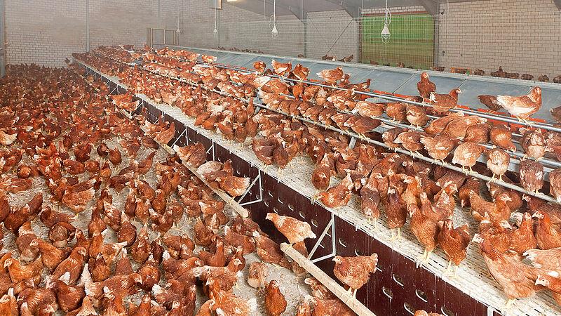 Barn egg production