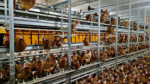 Hens in the barn