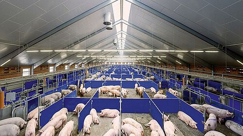 Sow management in the gestation area (group housing)