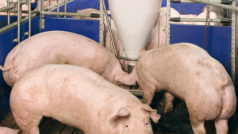 Feeding systems for pig finishing