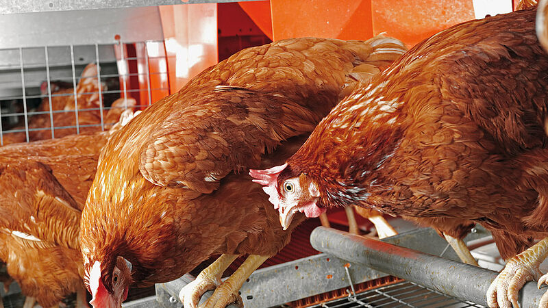Colony-EU for poultry growing and egg production