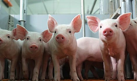 Modern pig equipment for healthy animals