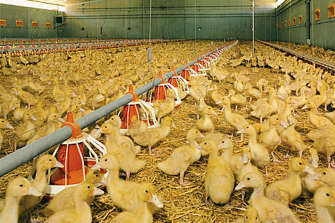 Poultry growing – duck production