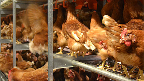 Close-up of laying hens in the aviary system