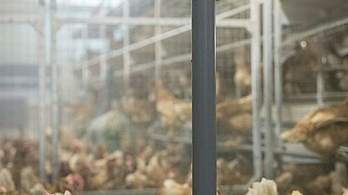 Egg production barn with PickPuck pendulum