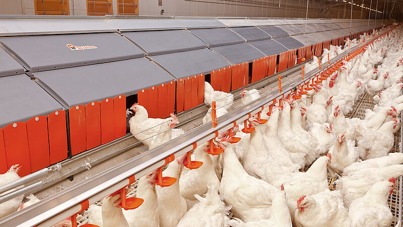 Broiler breeder management
