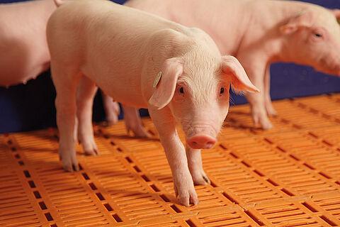 Piglet rearing