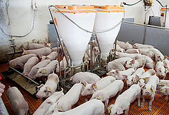 Porco Bello: Pig equipment and pig feeding systems for pig finishing
