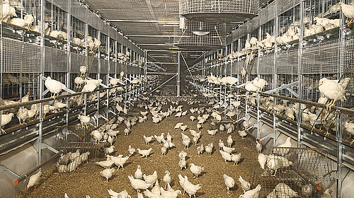 Two aviary rows with birds on the floor in the centre and in the system