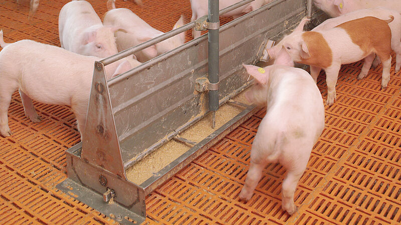 Pig production with HydroMix-Sensor pig feeding system