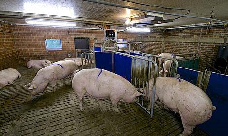 Relaxed sows and calm groups thanks to the electronic sow feeding system Call-Inn