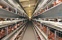 Poultry cages with layer hens
