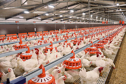 ▷Broiler breeder management: modern equipment and poultry feeding
