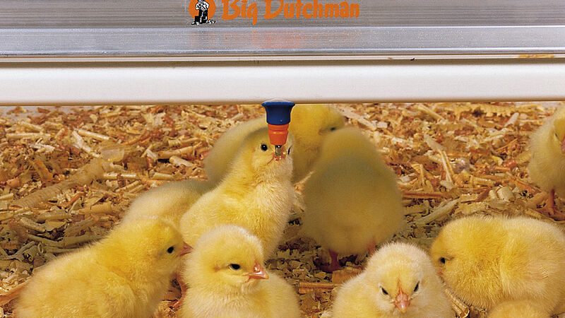 Poultry growing: chicks at the Big Dutchman nipple drinker SaniStar