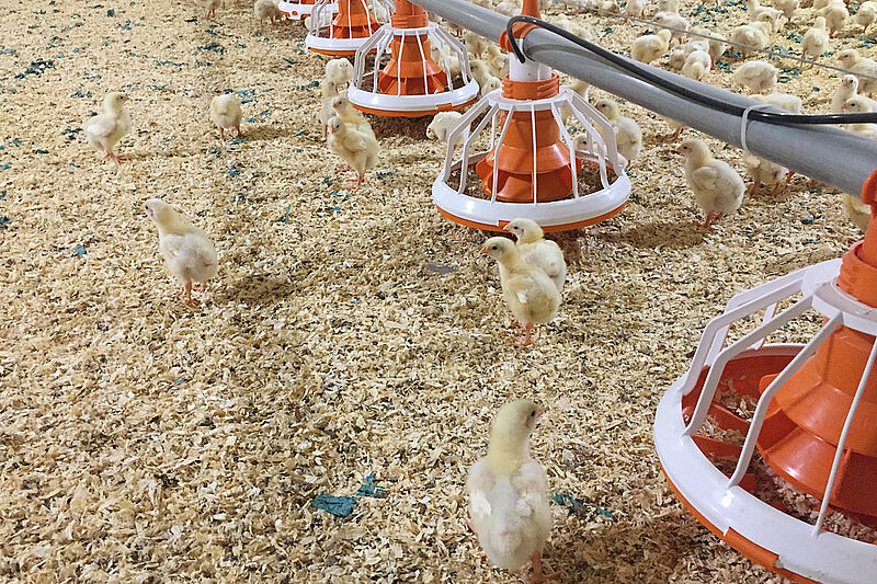 Fluxx feed pan and chicks