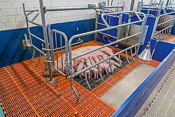 Sow in the open farrowing frame with piglets