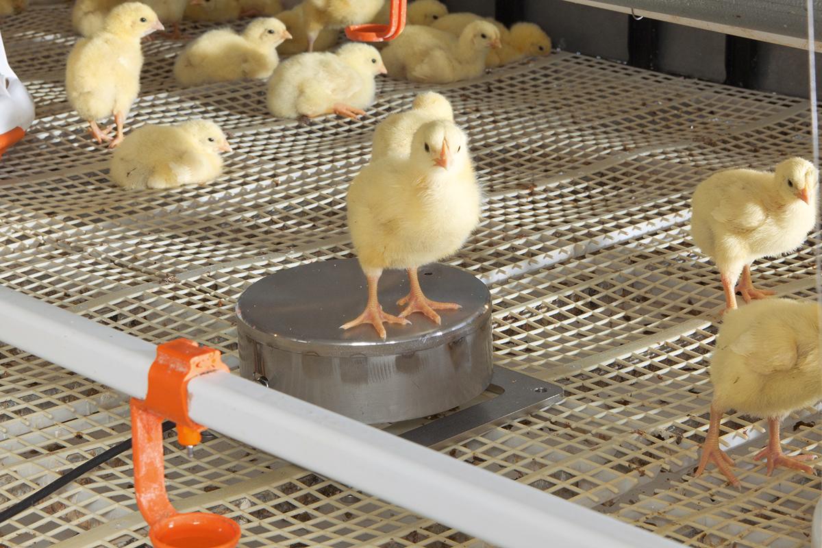Bird Weighing | Poultry growing | Big Dutchman
