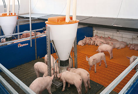 Dry Feeding And Liquid Feeding In Pig Rearing Pig