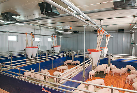 Dry feeding and liquid feeding in pig rearing pig for Modern piggery building design